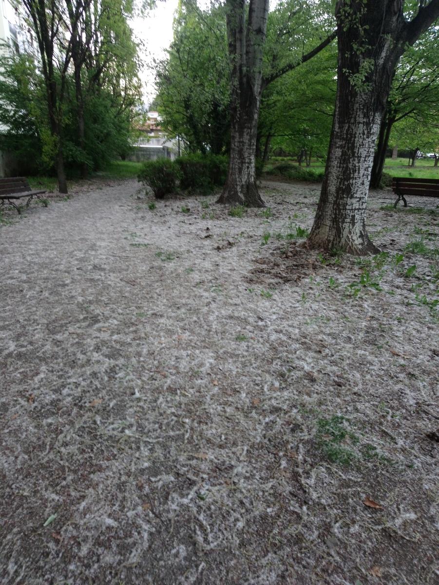 #IVostriScattiDelBiellese – Sembra neve, ma non è. La primavera crea strani effetti a Biella